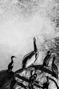 Comorants & a Brown Pelican watch the surf