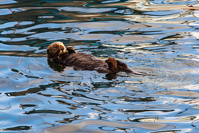Sea Otter in Morro Bay