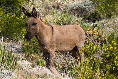 Big Bend National Park, Texas. Wild burro