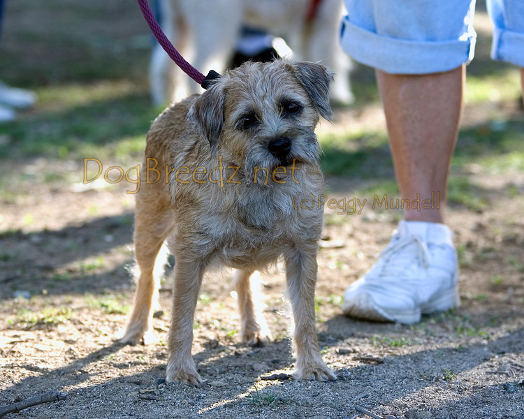 Inidentified.  Border Terrier Club of Southern California. October 30, 2011 in Anaheim, California.