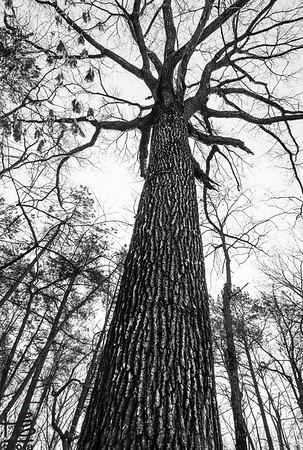 Old growth forest tree