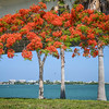 Royal poinciana on bay