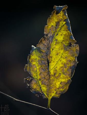 Backlit decaying leaf