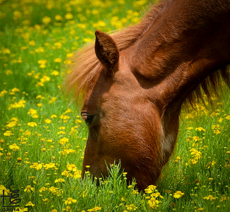 07-30-14 One of the Wallace Farms minature horse mares eating the pasture grass laden with tasty yellow flowers.