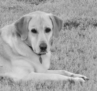 Elderly dog on lawn