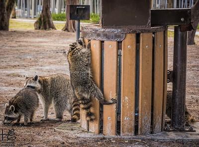 Urban Raccoons