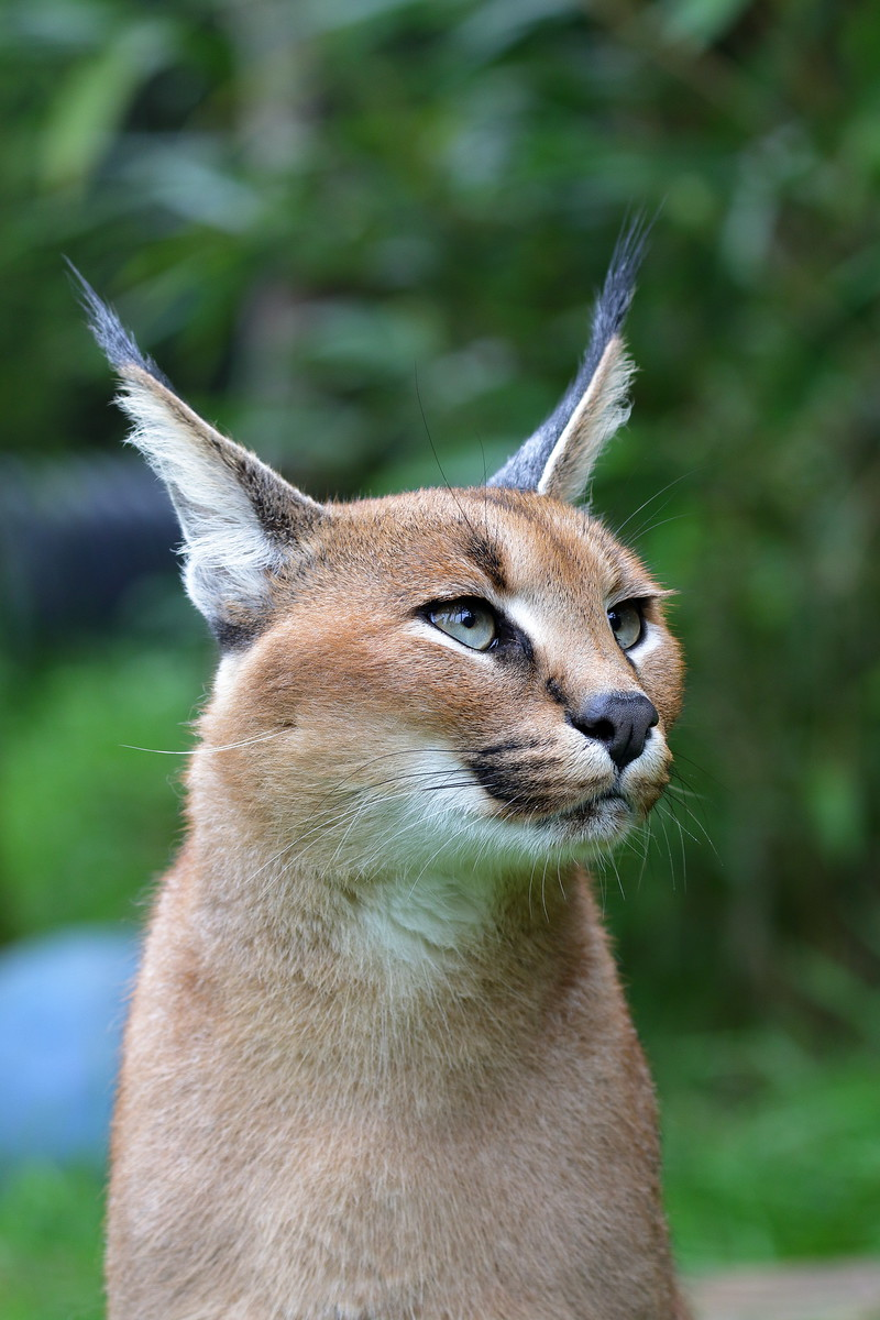 IMAGE: https://photos.smugmug.com/Earths-Other-Residents/Big-Cats/i-67NZ26L/0/135e9930/X3/00021638-X3.jpg