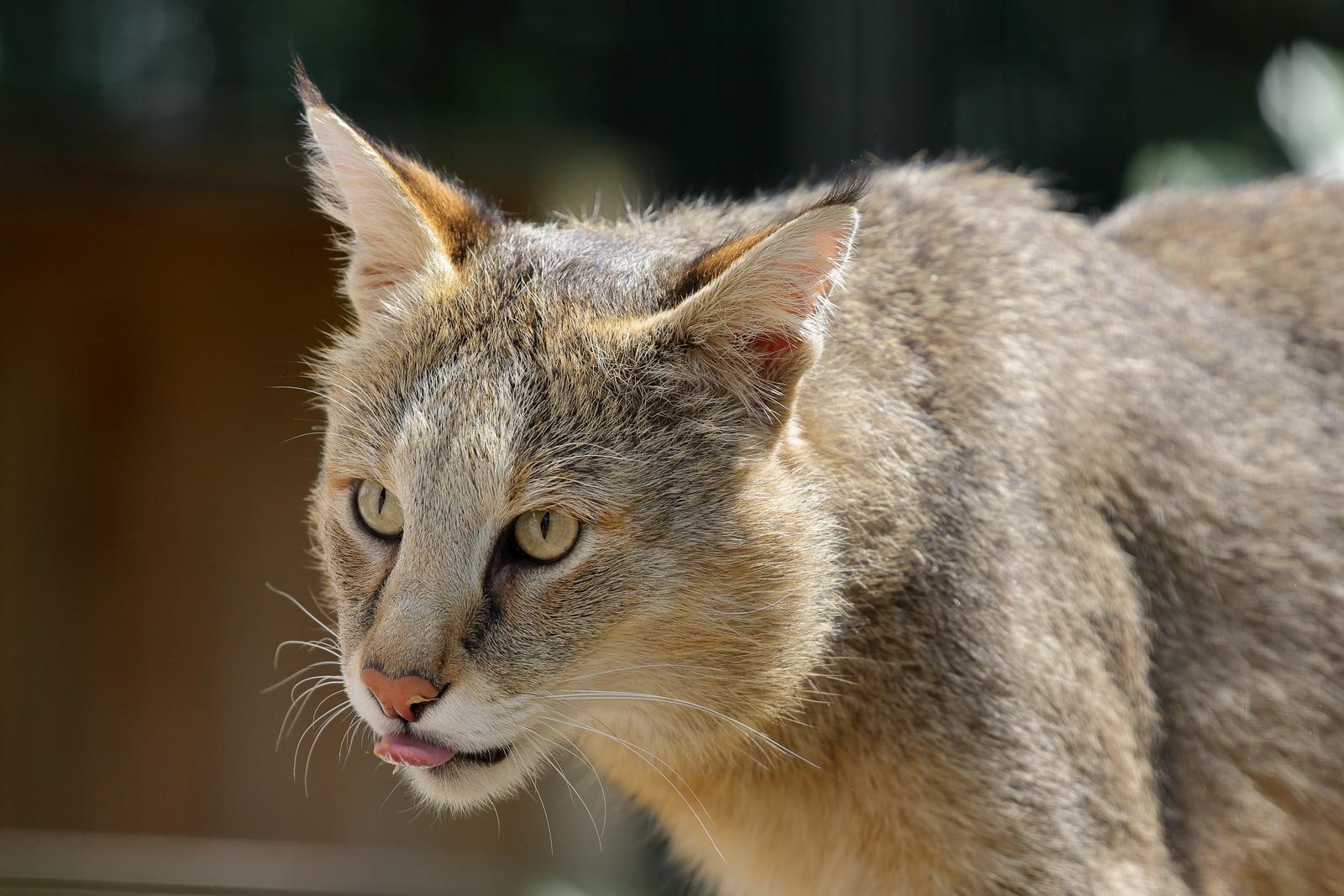 IMAGE: https://photos.smugmug.com/Earths-Other-Residents/Big-Cats/i-LKC9hZK/0/268ffa25/X3/00021668-X3.jpg