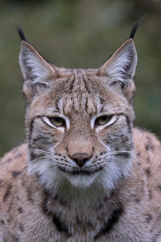 IMAGE: https://photos.smugmug.com/Earths-Other-Residents/Big-Cats/i-d39HMWk/0/3dab5f76/X2/00021647-X2.jpg