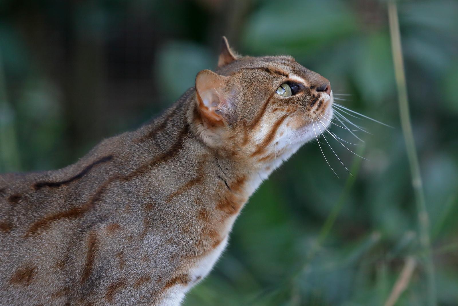 IMAGE: https://photos.smugmug.com/Earths-Other-Residents/Big-Cats/i-gqBB6Pj/0/410ae274/X3/00021624-X3.jpg