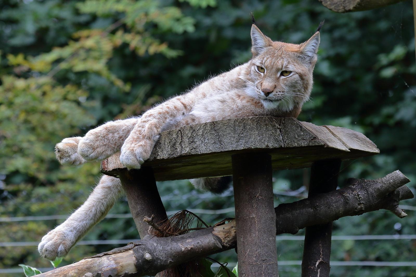 IMAGE: https://photos.smugmug.com/Earths-Other-Residents/Big-Cats/i-mXbRjwW/0/94460f50/X3/00022337-X3.jpg