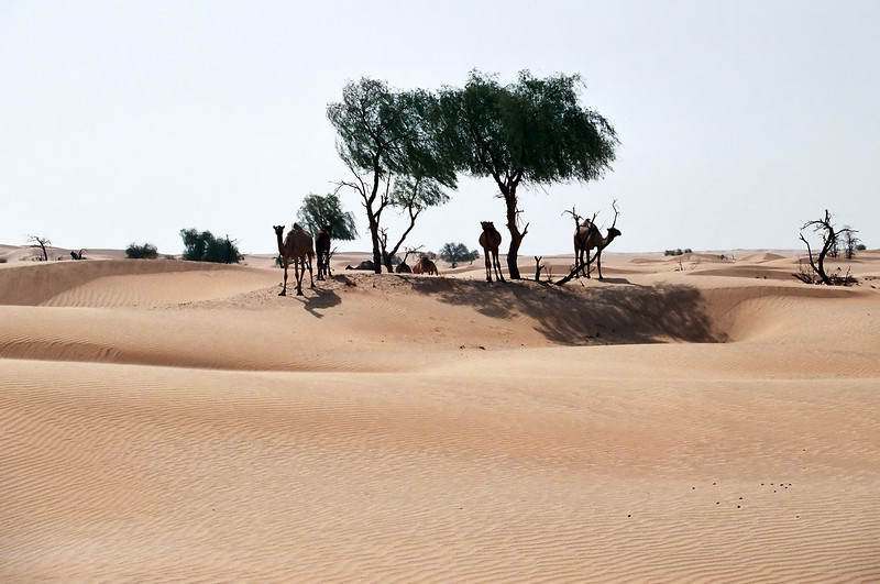 Camels and ghaf trees, eastern Huqf region, Oman