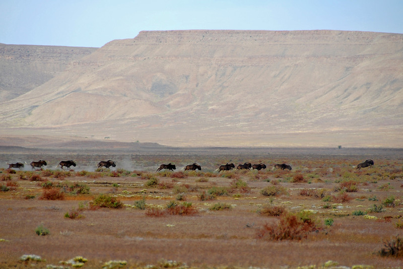 Running wildebeest in the Karoo, South Africa