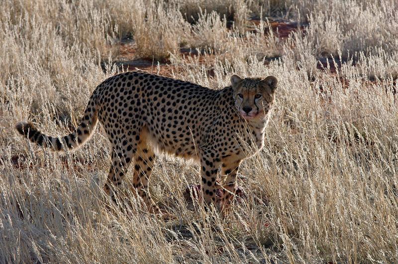 Looking for prey in the Kalahari, Namibia