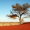 Giant bird nest in tree, Kalahari desert, Namibia