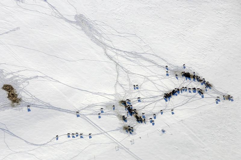 Feeding time in snowy Alberta plains, Canada
