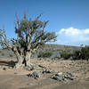 Old juniper tree on rocky plateau on the southern flank of Jebel Shams, Oman