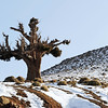 Stunted tree on rocky ridge in the High Atlas, Morocco