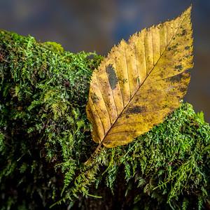 Birch Leaf on Moss