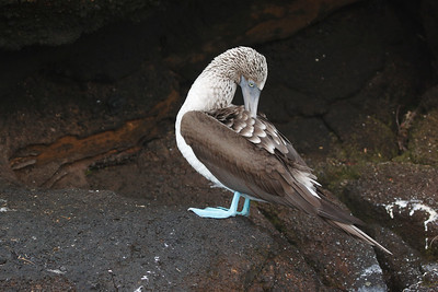Blue-footed & Nazca Boobies