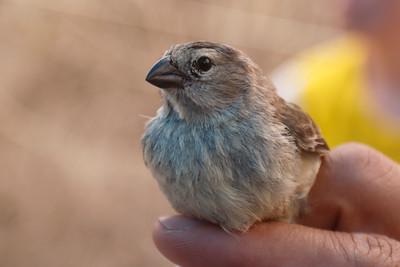 Small Tree Finch 2015 1402