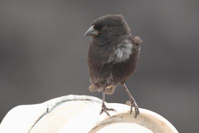 Medium Ground Finch 2015 0568