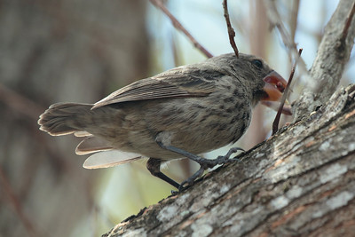 Large Ground Finch 2015 0227