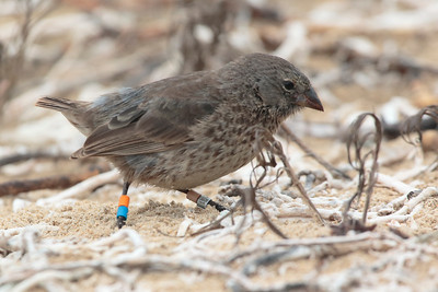 Small Ground Finch 2015 1617