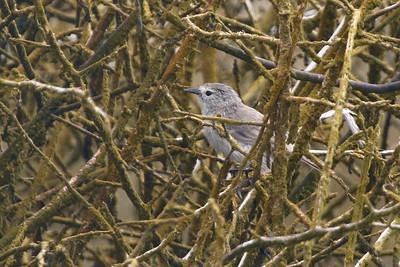 Warbler Finch 2015 2470