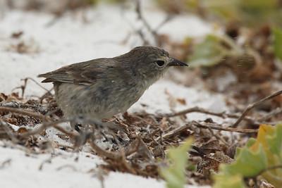 Warbler Finch 2015 2636