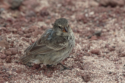 Small Ground Finch 2015 0357