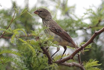 Vegetarian Finch 2015 1656