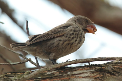 Large Ground Finch 2015 0236