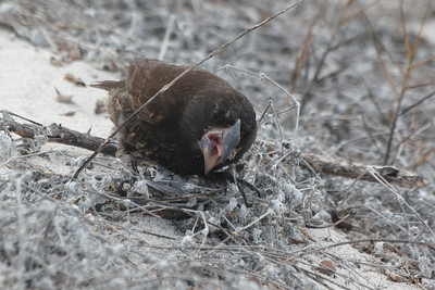 Large Cactus Ground Finch 2015 2666
