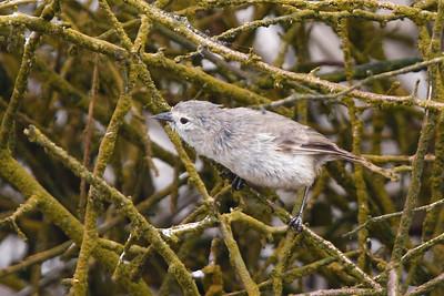 Warbler Finch 2015 2496