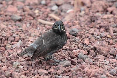 Cactus Ground Finch 2015 0126