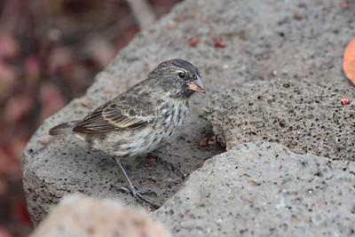 Medium Ground Finch 2015 0322