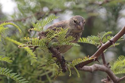 Vegetarian Finch 2015 1667