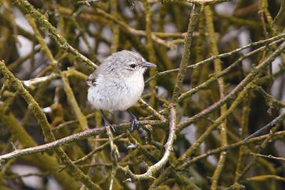 Warbler Finch 2015 2499