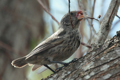 Large Ground Finch 2015 0228