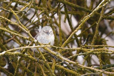 Warbler Finch 2015 2488