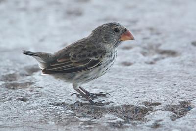Medium Ground Finch 2015 0013