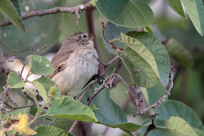Small Tree Finch 2015 0278