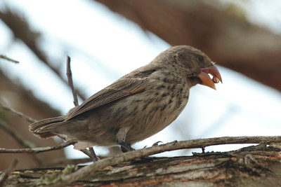 Large Ground Finch 2015 0237