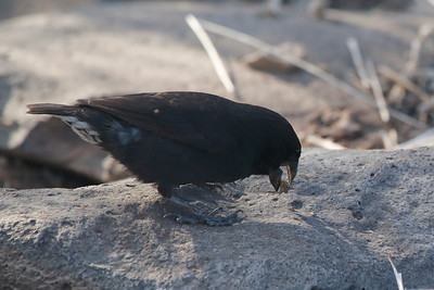 Large Cactus Ground Finch 2015 2385