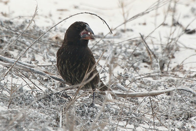 Large Cactus Ground Finch 2015 2658