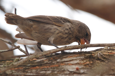 Large Ground Finch 2015 0234