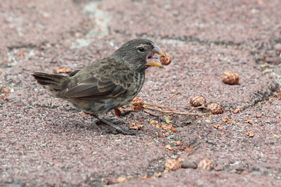 Large Ground Finch 2015 0385