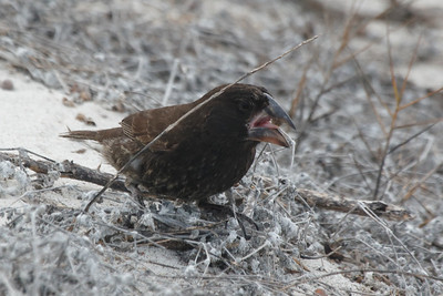 Large Cactus Ground Finch 2015 2667