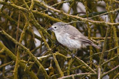Warbler Finch 2015 2494
